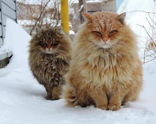 雪の中のロシアの猫毛がモフモフしている